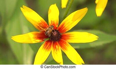 Bee collecting pollen on yellow rudbeckia flower. 4K macro...