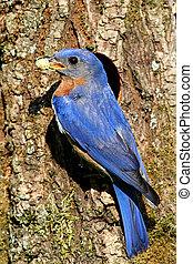 Eastern Bluebird - Male Eastern Bluebird (Sialia sialis) by...