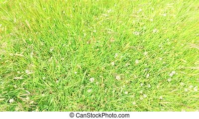 clover and grass growing on meadow or field 48 - nature,...