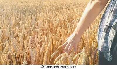 Woman walking in countryside and touching the golden wheat...