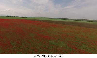 Poppy Field Mown By Tractor - AERIAL VIEW. Flight over large...