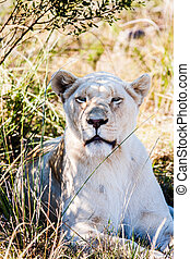 Big female lion laying down on an african savanna during...