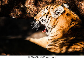 Bengal tiger lying in the shade