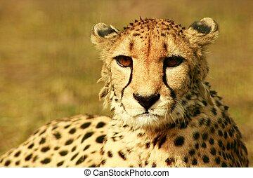 Animal - a cheetah at resting time in the sun of afrika