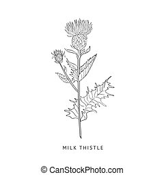 Milk Thistle Hand Drawn Realistic Sketch - Milk Thistle...