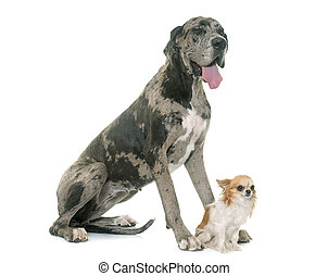 Great Dane and chihuahua in front of white background