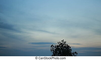 A flock of crows circling in the sky evening tree with birds...