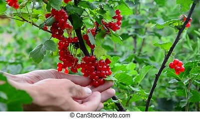 redcurrant collection collects ripe red currant berries