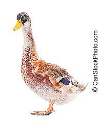 Wild duck farm bird isolated on white