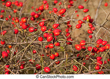 Wild canker-rose ripe red berry