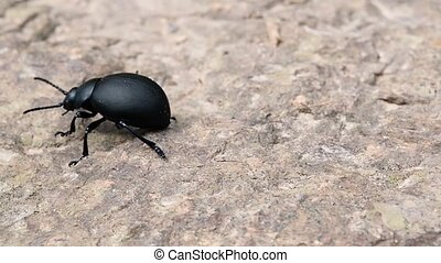 Black beetle crawling on the stone.
