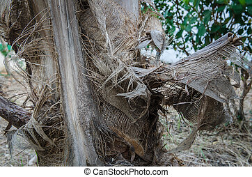Desiccated coconut tree