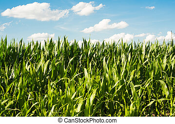 Detailed view of still unripe maize plants growing on the...