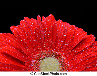 Dewy red gerbera - Dew drops on a flower red gerbera...