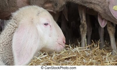 A flock of sheep in a large farmhouse barn. The muzzle is a little lamb closeup