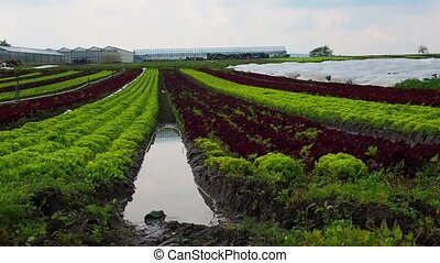 Fields of young lettuce