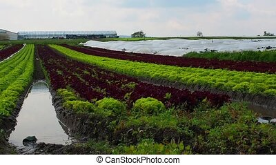 Fields of young lettuce.