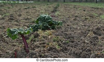 View close-up on the process of the newly planted beets on a...