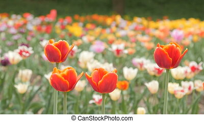 red tulips blooming closeup - slider dolly shot