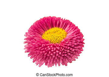 pink daisy on a white background