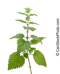 urtiga, planta