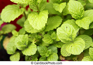 Growing spearmint - Up close of fragrant, green spearmint...
