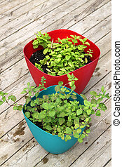 Growing spearmint and oregano - Up close of fragrant, green...