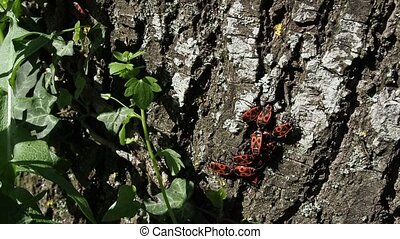 Beetles soldiers on a tree trunk, red and black beetles. pyrrhocoridae wingless. copulation