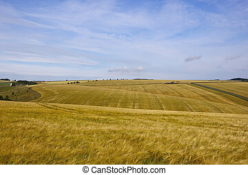 yorkshire wolds barley - golden ripening barley with scenery...