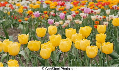 Multiple Colored Tulips in a Garden. Slider shot - Yellow...