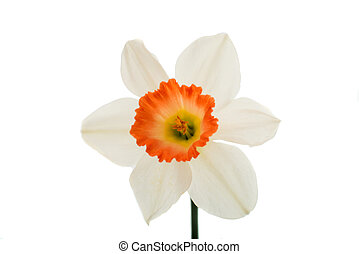 white narcissus on a white background