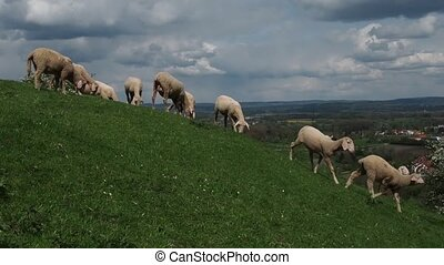 Flock of sheep grazing on the green meadows. On the horizon are visible blue sky with white clouds. Rams look back and look forward to you.