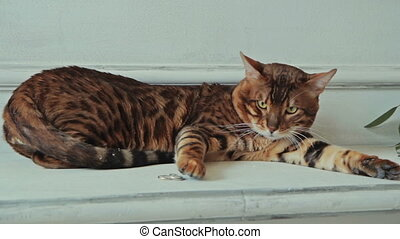 Bengal cat lying and touching ring - Bengal cat lying and...