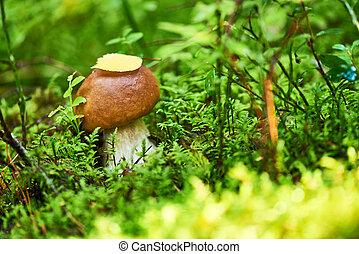boletus cep mushroom in a forest - Fall boletus cep mushroom...