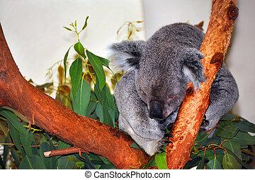 Adorable Koala - Koala bear relaxes against Eucalyptus tree...