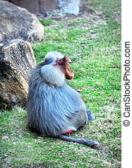 Agressive Baboon - Large Baboon sits on the grass of its...