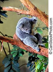 bebé,  Koala, oso