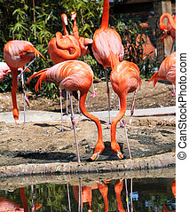 Duplicating Duo - Two flamingo imitate each other. Both have...