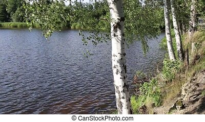 Birch trees in the wind on the bank of the pond.