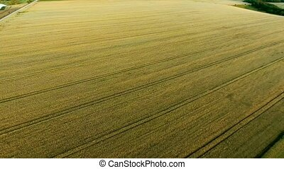 wheat field aerial view at evening
