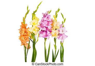 gladiolo, flor