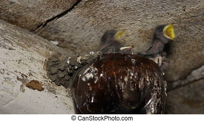 Swallows feed their chicks - Swallows nest lodged in a...