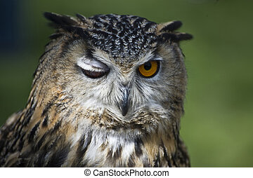 Eagle Owl - Close up of eagle owl winking