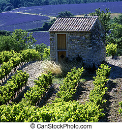 vineyard and lavender field, Provence, France