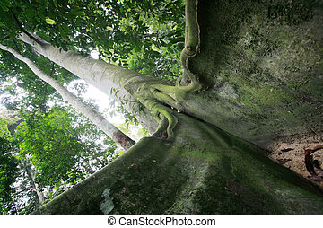 Enclosed - Buttress root of tall tree of virgin rainforest...