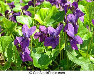 violets - wild violets flowering at springtime...