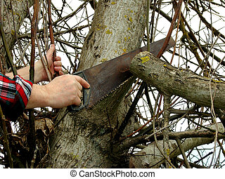 tree pruning - pruning old branches from the nut-tree at the...