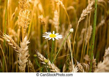 Daisy flower in a wheet field - Closeup of daisy flower in a...
