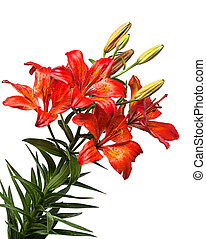 Red lilly flower closeup isolated on white