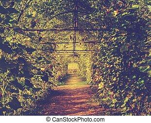 túnel, planta, verde, abóbora